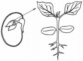 Части семени и проростка