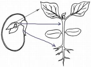 Схема - Части семени и проростка