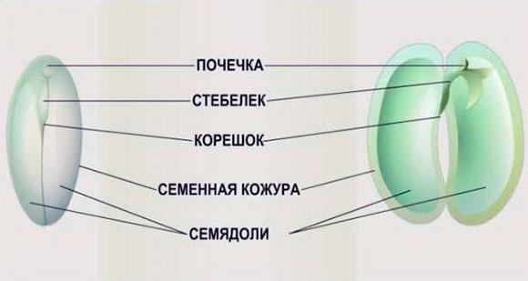 Схема - Строение семени тыквы